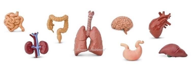 8 Figurines Organes Du Corps Humain Montessori S Amuser Autrement