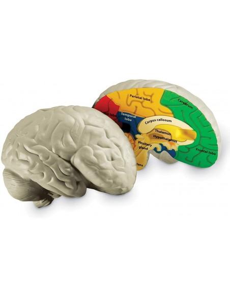 La coupe du cerveau
