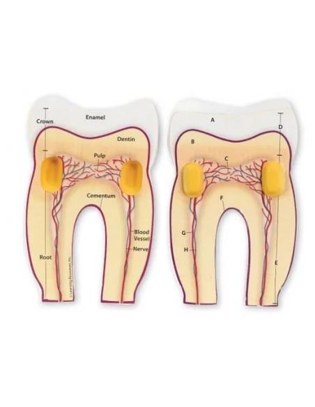 La coupe de la dent
