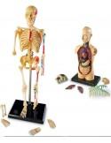 Modèles anatomiques x4