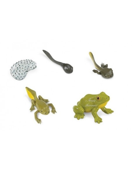 Cycle grenouille lot 2